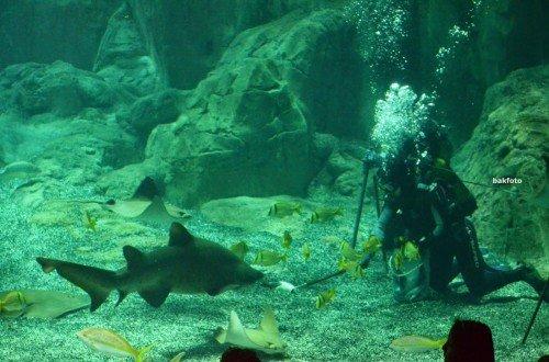 anatankta dalgıçların aç olan köpekbalığını besleme çabaları