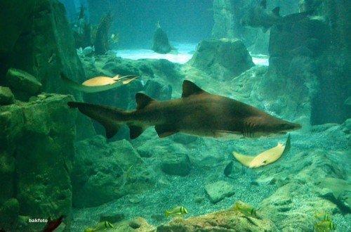 anatankta aç bir köpek balığı